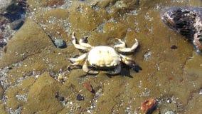 Biały krab Zdjęcia Royalty Free