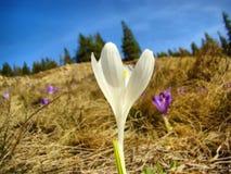 Biały krokus w wiośnie z niebieskim niebem w tle Zdjęcie Royalty Free