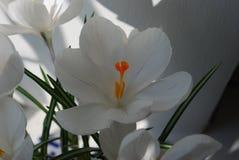 Biały krokus z fiołkowymi lampasami Obraz Royalty Free