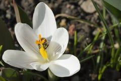 Biały krokus z pszczołą Fotografia Royalty Free