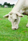 Biały krowy łasowania trawa Fotografia Stock