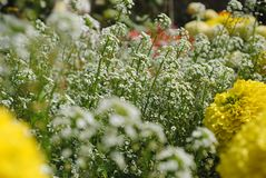 Biały krwawnika kwiat zdjęcia royalty free