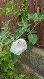 Biały krzaka kwiatu Brugmansia z pączkami, anioła ` s trąbki, zakończenie obrazy stock
