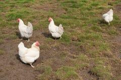 Biały kurczak zdjęcia stock