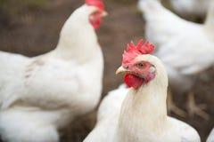 Biały kurczak zdjęcia royalty free