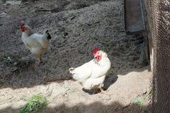 Biały kurczaka odprowadzenie na kurczak klatce w wiośnie Rolnictwo ornitologia Drobiowy jard zdjęcia royalty free