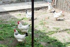 Biały kurczaka odprowadzenie na kurczak klatce w wiośnie Rolnictwo ornitologia Drobiowy jard fotografia stock