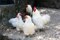 Biały kurczaki fotografia royalty free