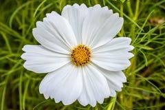 Biały kwiat Zdjęcia Stock