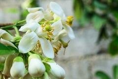 Biały kwiat cytrusów grandis, zdjęcie stock