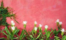 Biały kwiat i czerwieni ścienny tło Obrazy Stock