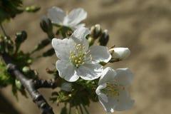 Biały kwiat jabłko Fotografia Stock