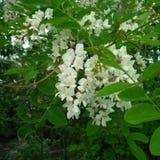 Biały kwiat jak dama kapeć Fotografia Stock