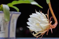 Biały kwiat, liścia cereus Zdjęcia Royalty Free