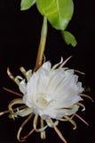 Biały kwiat, liścia cereus Obrazy Stock