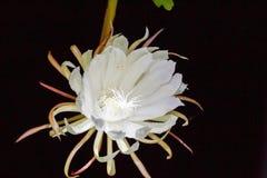 Biały kwiat, liścia cereus Obraz Stock