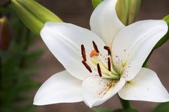 Biały kwiat lilly z zielonym tłem behind obraz stock