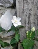 Biały kwiat na drewnianym tle Zdjęcie Stock