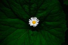 Biały kwiat na dużym zielonym liściu Fotografia Royalty Free