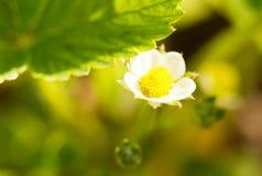 Biały kwiat na truskawce w wiośnie Zdjęcia Royalty Free