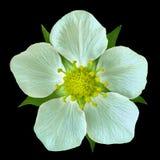 Biały kwiat odizolowywający na bkack tle dzika truskawka Zakończenie bell świątecznej element projektu Obraz Royalty Free