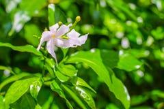 Biały kwiat przed zielonym tłem Zdjęcia Stock