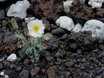 Biały kwiat r z białej korala i lawy skały wyrzucać na brzeg zakończenie makro- na wybrzeżu Maui blisko Kihei w Ahihi-Kinau Natur Fotografia Stock