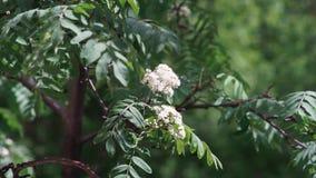 Biały kwiat Sorbus roślina zdjęcie wideo