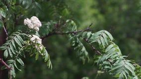 Biały kwiat Sorbus roślina zbiory wideo