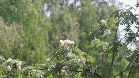Biały kwiat Sorbus roślina zbiory