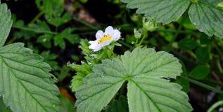 Biały kwiat truskawkowy ogród zamkniętego rosy kropelek trawy liść ranek zamknięta woda Obrazy Stock