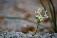 Biały kwiat w kwiacie w wiośnie obraz stock