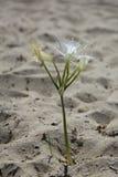 Biały kwiat w pustyni Zdjęcia Royalty Free