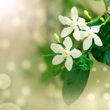 Zakończenie piękni biali kwiaty Obraz Royalty Free