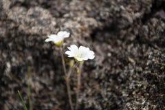 Biały kwiat z ciemnym tłem Obrazy Stock