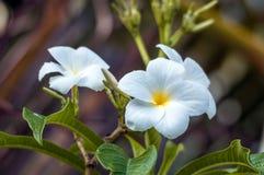 Biały kwiat z koloru żółtego centrum Fotografia Stock