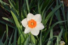 Biały kwiat z pomarańczowym sercem na liścia tle Fotografia Stock
