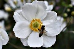 Biały kwiat z pszczołą Obrazy Stock