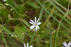 Biały kwiat z wąskimi płatkami przeciw tłu zielona trawa Fotografia Stock