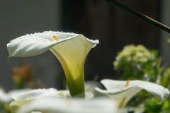 Biały kwiat Zantedeschia aethiopica &-x28; Kalii leluja zdjęcie royalty free