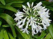 Biały kwiatonośny agapant Obraz Stock
