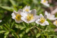 Biały kwiatonośny anemon zdjęcia royalty free