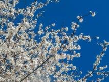Biały Kwiatonośny Callery bonkrety drzewo Przeciw zmrokowi - niebieskie niebo zdjęcia royalty free