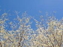 Biały kwitnący czereśniowego okwitnięcia kwiat Sakura nad niebieskim niebem Fotografia Royalty Free