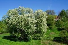 Biały kwitnący kwitnący drzewo wiosny czas zdjęcia stock