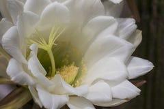 Biały kwitnący kaktusowy Trichocereus Formosus obrazy stock