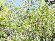 Biały kwitnie drzewo Zdjęcia Stock
