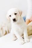 Biały labradora szczeniaka obsiadanie fotografia royalty free