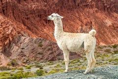 Biały lama fotografia stock