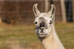 Biały lama glama portret obrazy royalty free